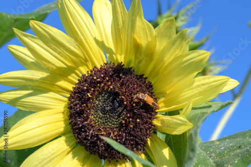 Flowers and bugs go hand in hand. A beautiful bold yellow sunflower is host to a lightning bug. Bokeh background.