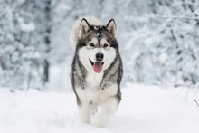 Winter Malamute Dog