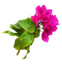 Closeup Of Bougainvillea Flowe...