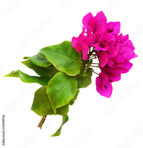 Tableau sur Toile Closeup of bougainvillea flowers and leaves