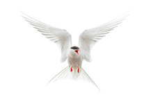 Flying Arctic Tern (Sterna Paradisaea) Protecting Nest With Wings Spread And Mouth Open. Bird Isolated On White Background