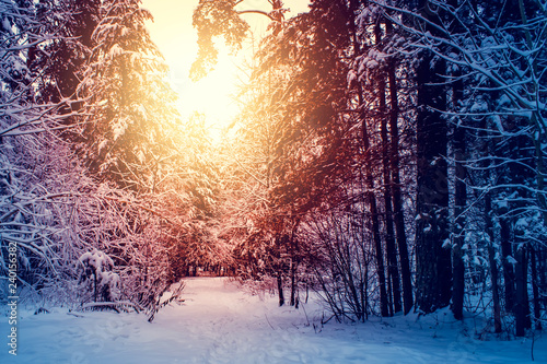 Poster Blanc Winter snow forest trees sunset background. Red sunset in winter snow forest trees scene. Winter sunset snow forest trees view.