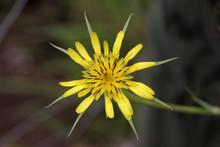 The Unusual Blossom Of The Wildflower Salsify Or Goatsbeard