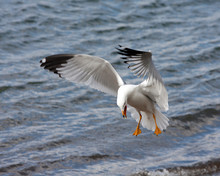 Ring-billed Seagull  Coming In For A Landing
