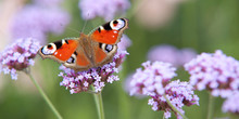 Bright Beautiful Butterfly Sits On A Purple Flower
