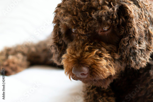 Fotografía  Beautiful brown water dog lying on the bed and looking very interested to the ca