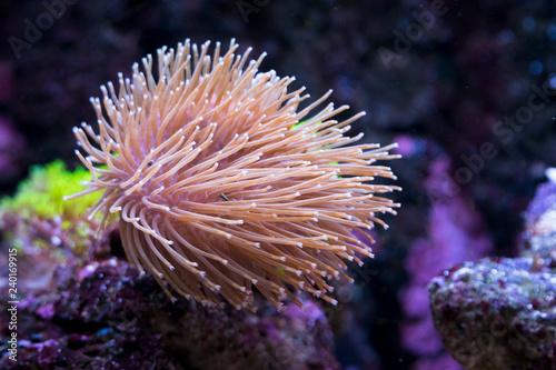 Fototapeta premium Rosa Koralle im Aquarium