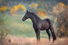 Black Stallion In Autumn Lands...