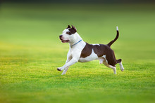 Beautiful Dog American Pit Bull Terrier  Running On Green Spring Field