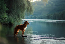 Dog On The Lake. Nova Scotia Duck Tolling Retriever In Nature. Toller, Pet With Travel