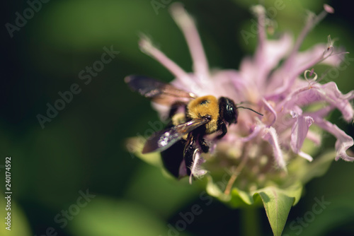 bee on a monarda flower