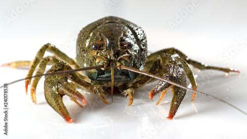 Photo  Crayfish on a white background