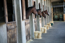Thoroughbred Horse In Stall