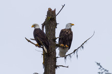 Two Bald Eagles Perched On A Single Tree