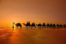 Camels Broome Western Australia Cable Beach