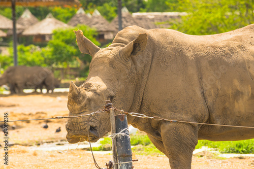 African White Rhino in the zoo