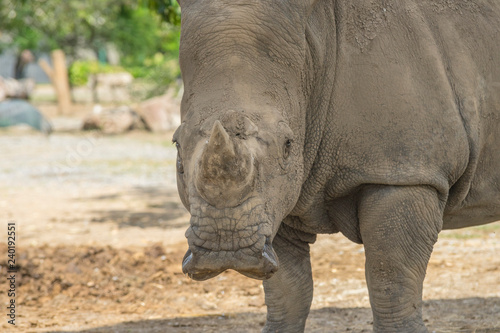 African White Rhino in the zoo