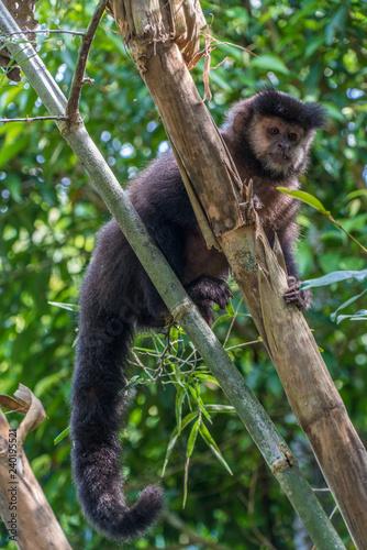 Foto op Aluminium Aap Capuchin monkeys in trees