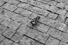 Sparrow On Stone Pavement Text...