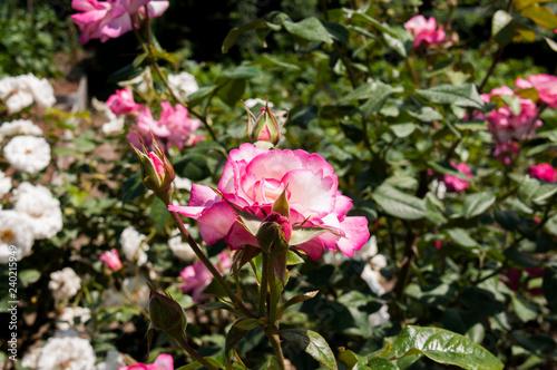 Fotografie, Obraz  Pink garden rose (Handel)