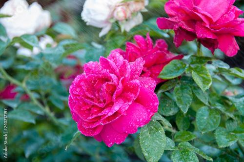 Photo  Red roses (Leonard Dudley Braithwaite)