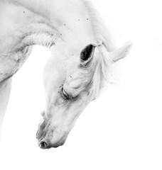 Fototapeta Koń Beautiful white horse