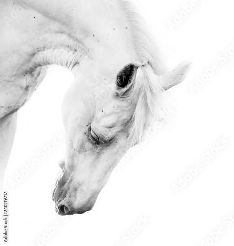 Photographie Beautiful white horse