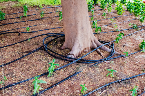 Trees and shrubs with pipes for drip irrigation, drip irrigation system in the park