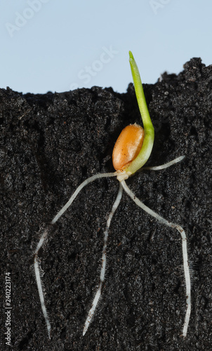 Wheat grain growing in organic soil