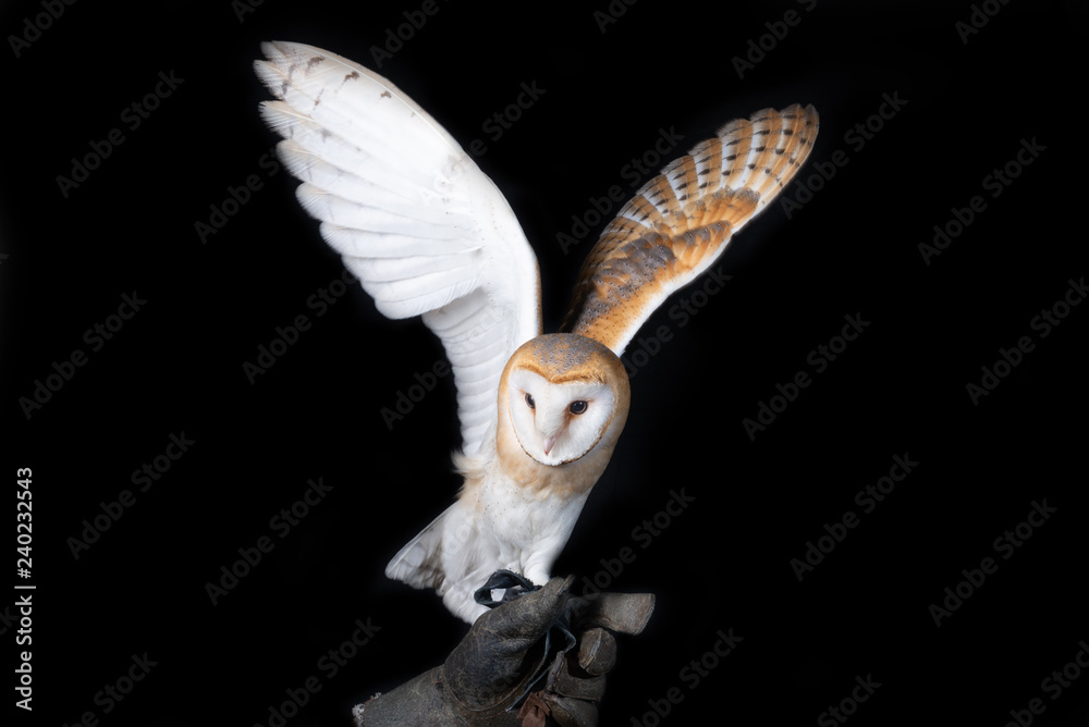 owl barn wildlife bird animal nature wild prey eye look hunter