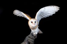 Owl Barn Wildlife Bird Animal ...