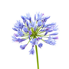 Agapanthus Flower Isolated On ...