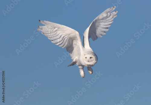 Male Snowy owl (Bubo scandiacus) isolated against a blue background flies low hunting over an open sunny snowy cornfield in Ottawa, Canada