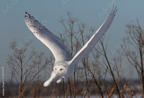 Male Snowy owl (Bubo scandiacus) flies low hunting over an open sunny snowy cornfield in Ottawa, Canada