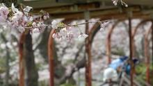 自転車小屋と桜 フォ