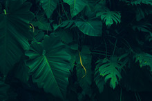 Nature Leaves Green Background In Garden At Spring. Dark Tropical Foliage Natural Background.