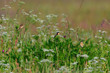 canvas print picture - Braunkehlchen bei der Fütterung