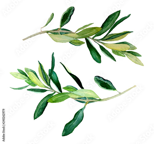 Fotografie, Obraz  Watercolor two olive branches, raster template on white background