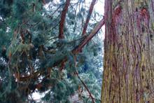 Cedar Tree On Island Of Mainau