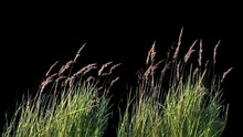 Grass Blowing On The Wind Isolated With Alpha Mask, Close Up Of High Grass, Wheat Spikelets Grass, Green Plants Leaves, Green Plants Are Moving From Wind