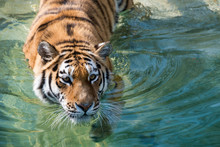 Siberian  Tiger Swimming In A Pond