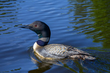 Minnesota Loon Swimming Blue Water