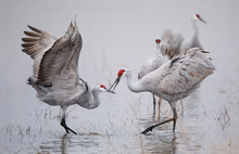 Sandhill Cranes Displaying And...
