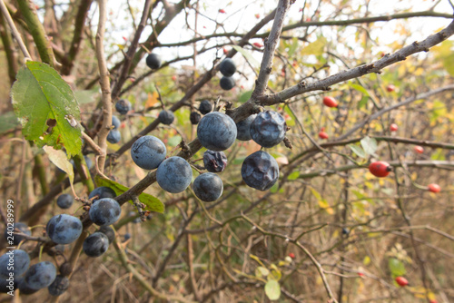 Photo  ripening fruit of blackthorn on the branches