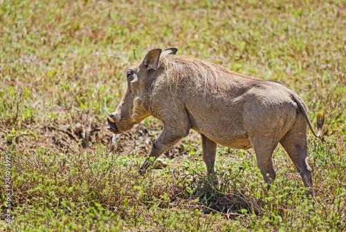 Photo  African warthog. Svinoobraznoe animals of the African savannah.