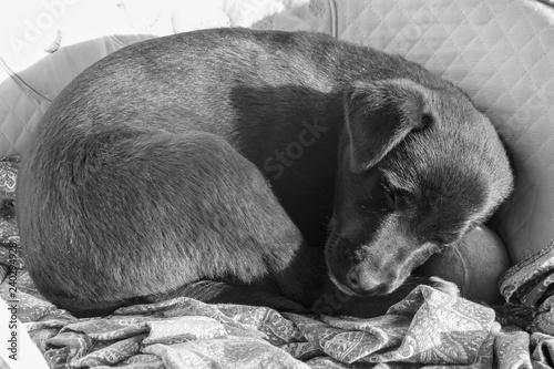 Fotografie, Obraz  Labrador puppy falls asleep on the armchair;