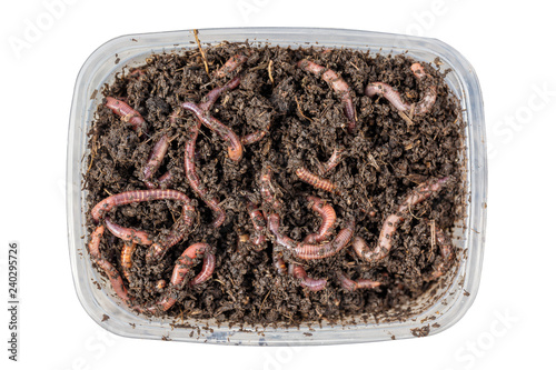 Red worms Dendrobena in a box in manure, earthworm live bait for fishing isolated on white background. Close up and top view