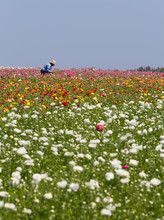 Colorful Flower Fields In Carl...