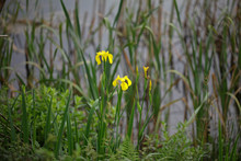 River Bank Yellow Lilly