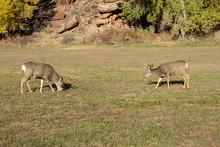 Two Deer Grazing